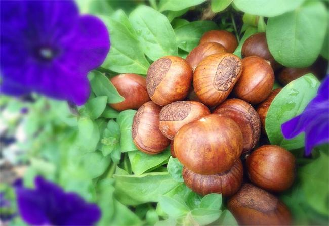 Wild Chestnut (Hạt Dẻ Rừng)