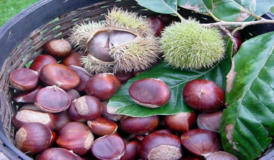Trung Khánh chestnuts